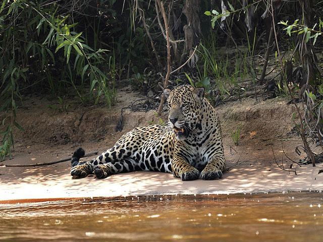 1280px 5236 Pantanal jaguar JF 1