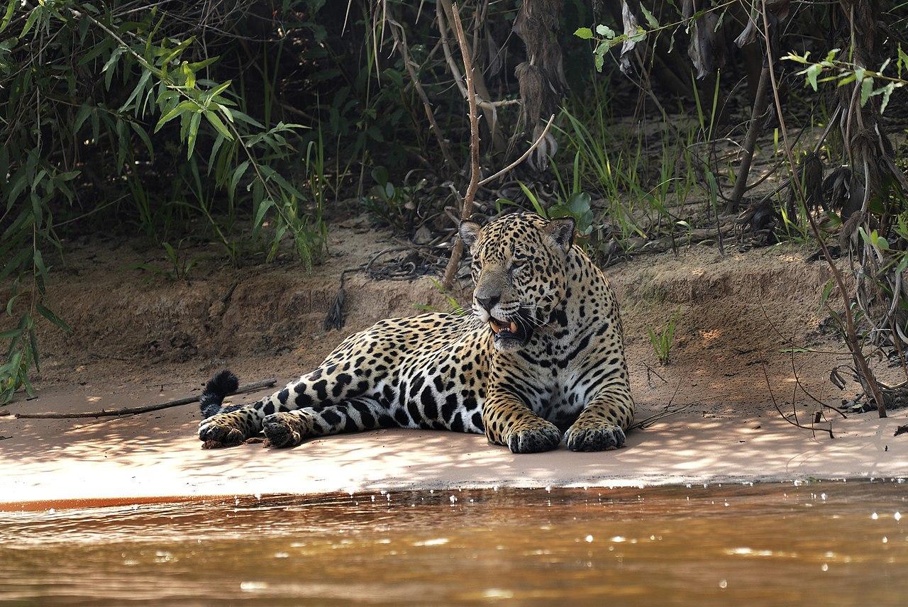 1280px 5236 Pantanal jaguar JF