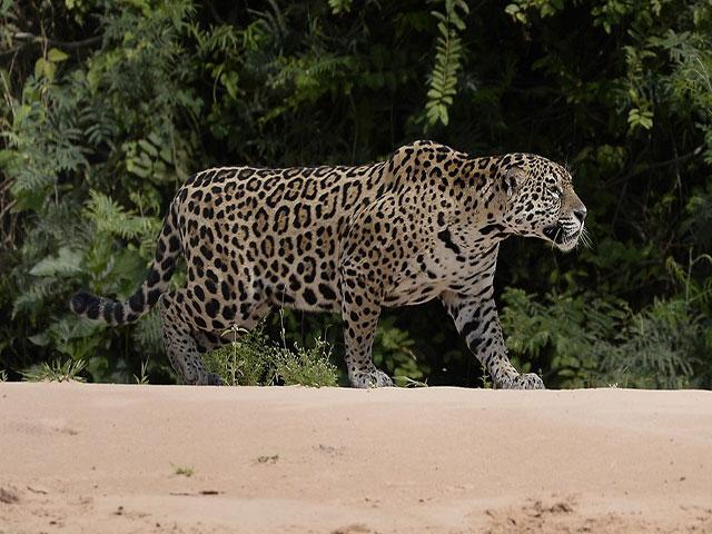 1280px 7374 Pantanal jaguar JF 1
