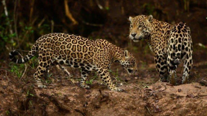 Safári Fotográfico no Pantanal com a Pousada Piuval